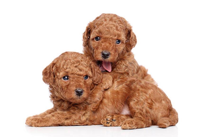 Segui account popolari e fatti guarire da Toy Poodle!