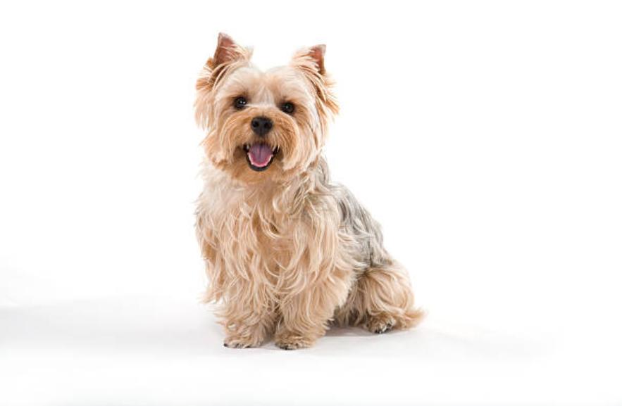 Comprendi personalità, caratteristiche e prezzo! Yorkshire Terrier Sommario delle informazioni