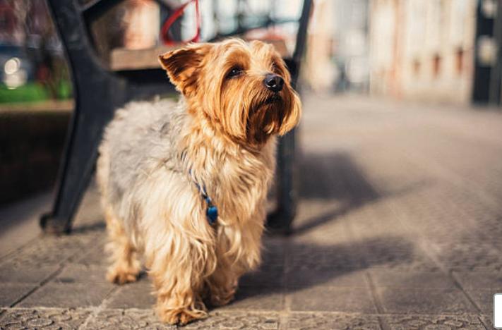 Sociale e curioso! Personalità Yorkshire Terrier