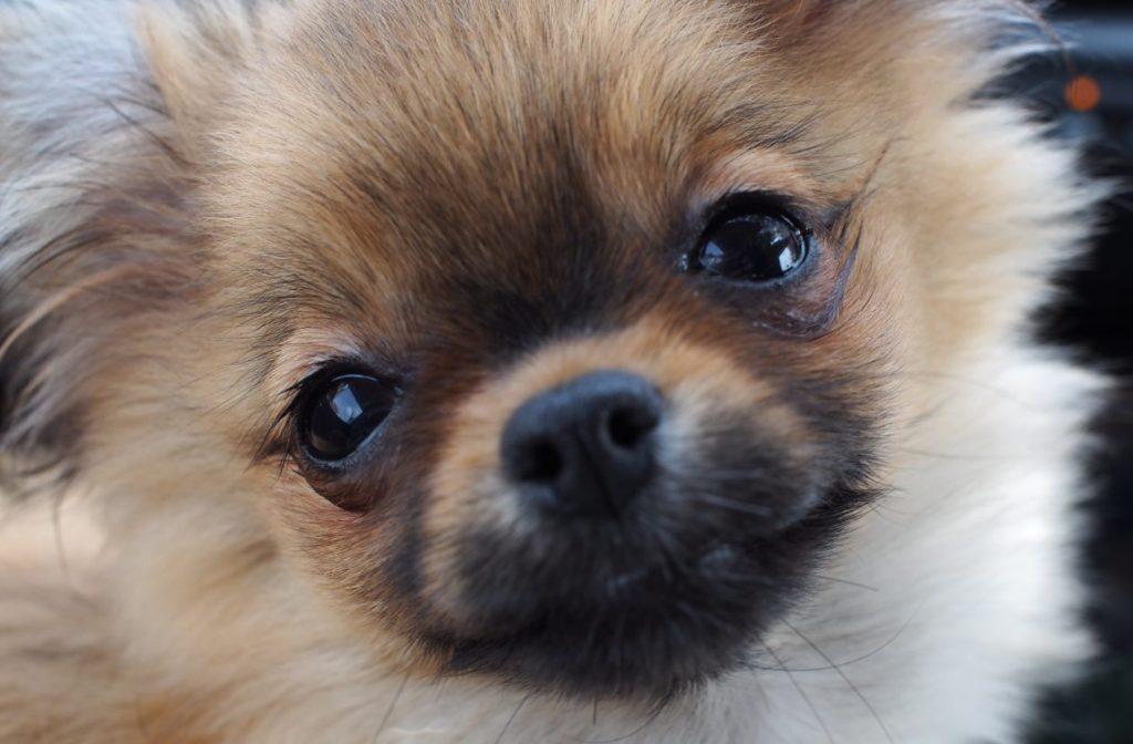 什么是柚子? ? 介绍吉娃娃x博美犬混种狗的特征,个性和销售信息