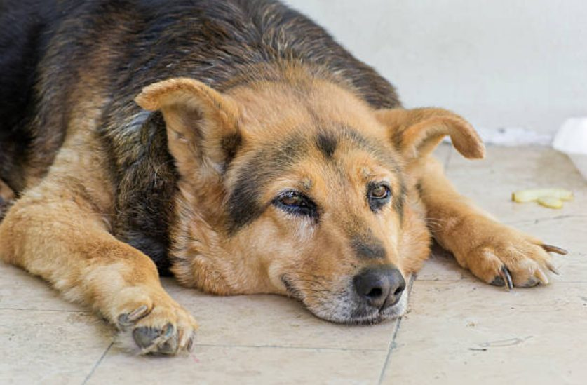 Gestos e sentimentos do cão