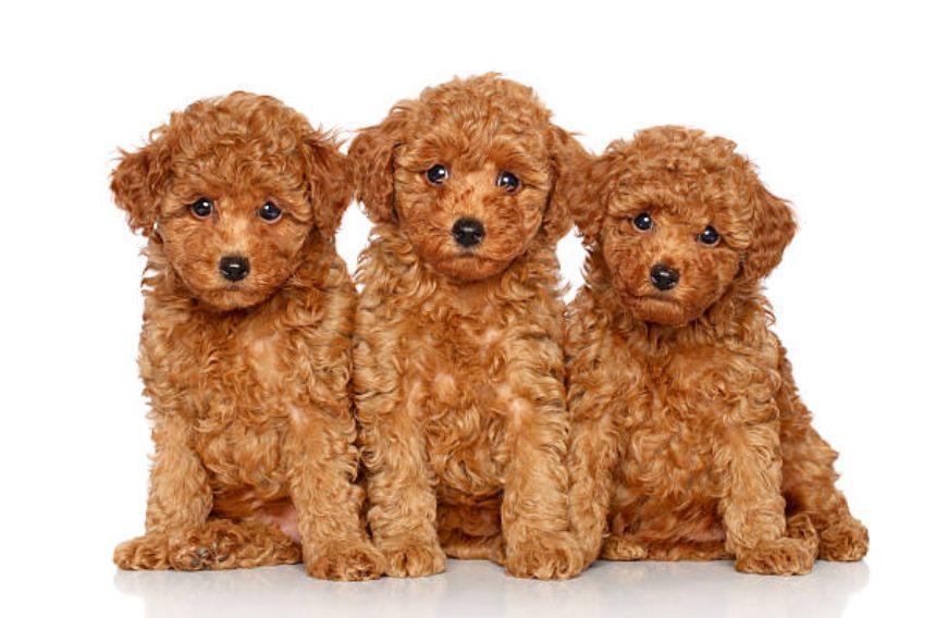 Il veterinario controlla come allevare, l'aspettativa di vita, la malattia e la disciplina dei barboncini giocattolo per età