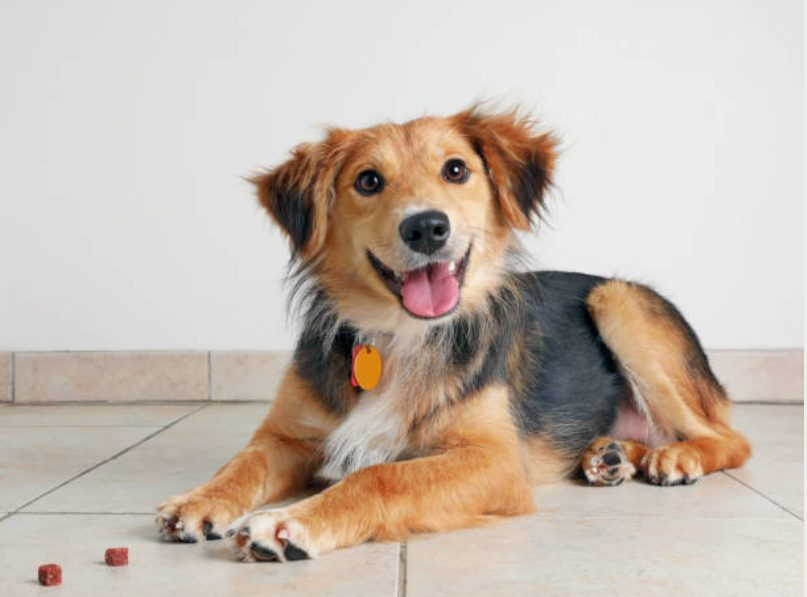如何养狗,狗的品种排名,Chiwax,Pomechi