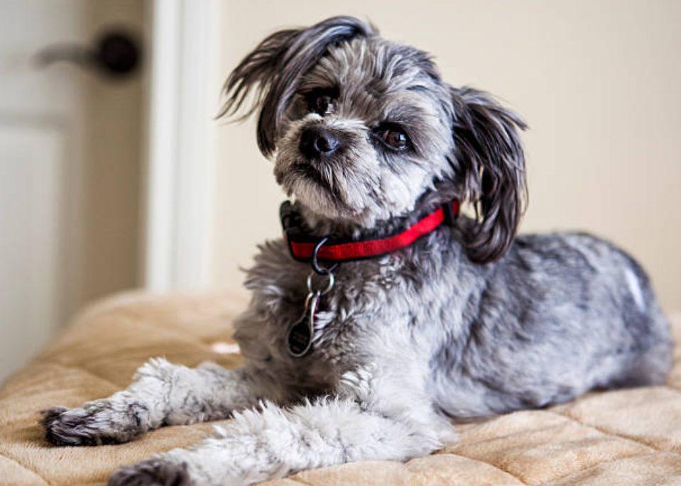 """Was für ein Hund ist der gemischte Hund """"Yeopo""""? Informationszusammenfassung wie Persönlichkeit, Aufbewahrung, Preis"""