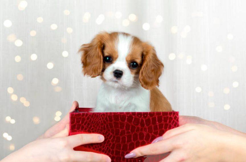 人気上昇中ミックス犬「キャバプー」とは!?性格・値段・毛色など情報まとめ