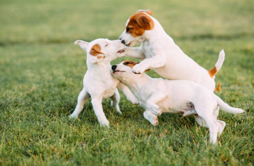 【徹底解説】犬同士の遊びでみられる行動と飼い主ができること